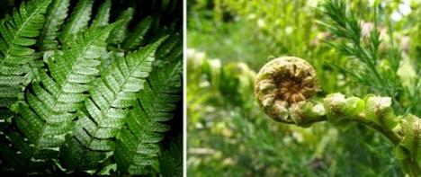 fractal-ferns
