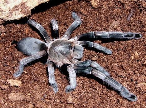 Image of: Ugliest Whistlingspider Momtastic 20 more Strange And Exotic Endangered Species Webecoist