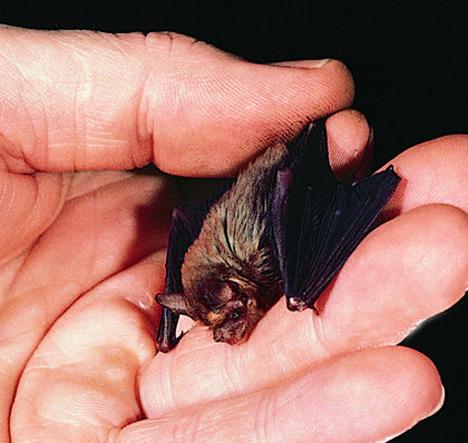 kittis-hognose-bat