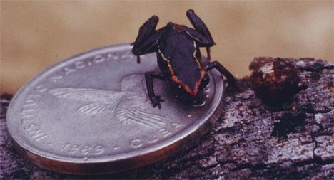 monte-iberia-eleuth-frog