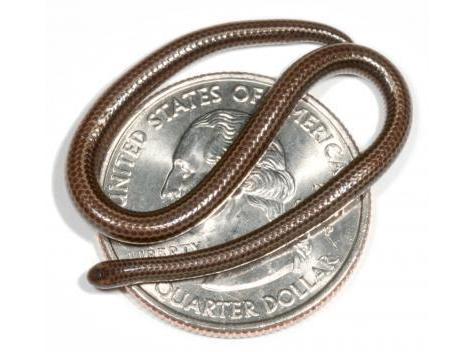 smallest-snake