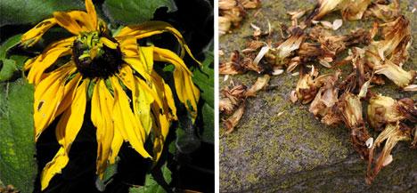 deadflowers
