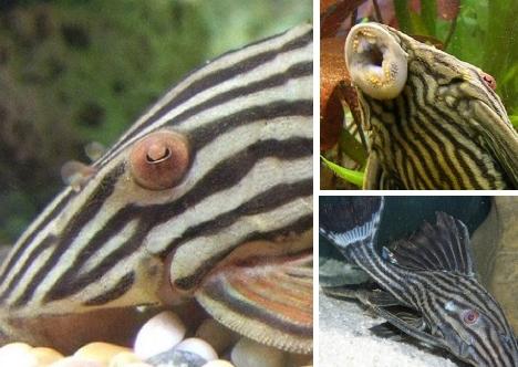 pleco-catfish
