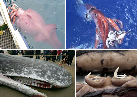 Topic Real giant squid excellent topic