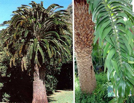 encephalartos-woodii
