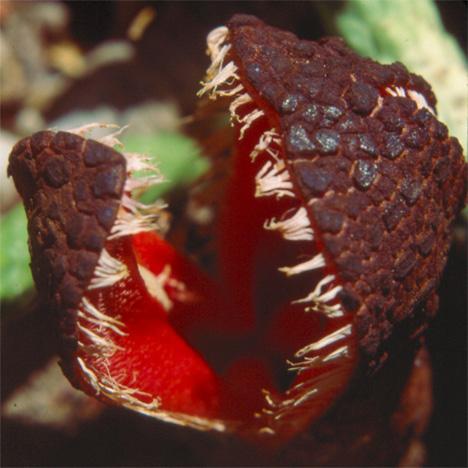 hydnora-africana