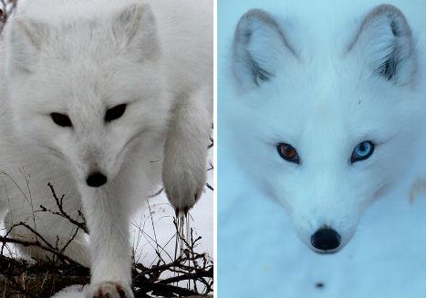 Arctic Animals 37 Photos Of Snow White Wildlife
