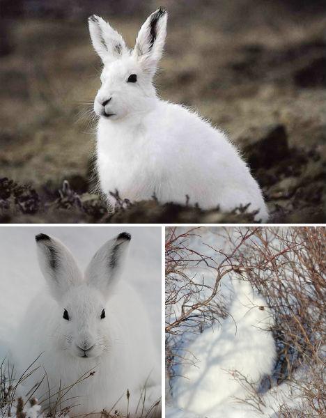 arctic-animals-hare