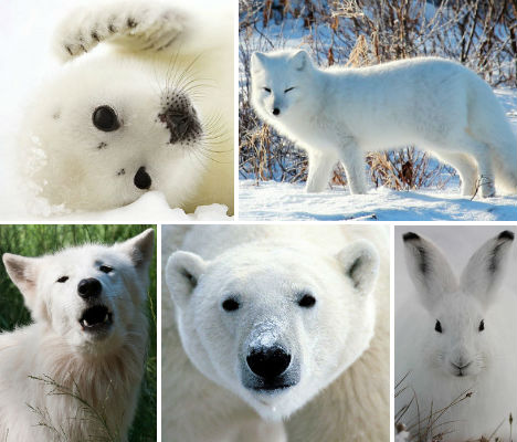 Arctic Animals: 37 Photos of Snow-White Wildlife