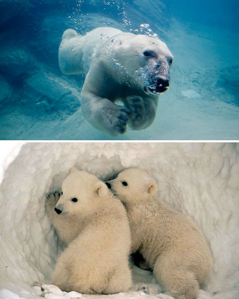 arctic-animals-polar-bears-2