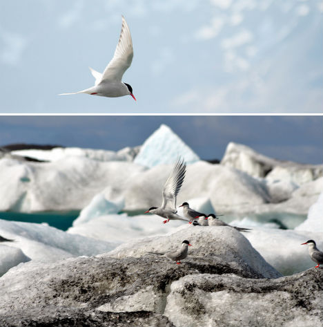 arctic-animals-tern-1