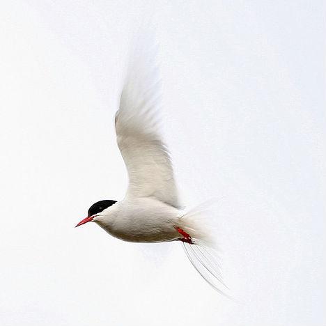 arctic-animals-tern-2