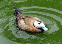 Quack Addiction: The World's 7 Most Amazing Ducks