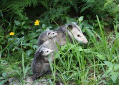 Faded Genes: The 7 Most Primitive Living Mammals