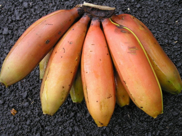 Yellow Fever Reliever: 7 Blight-Resistant Bananas