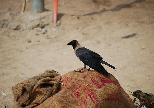 Hi High Blackbirds: The World's 7 Most Amazing Crows