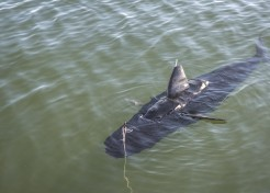 GhostSwimmer: Underwater Navy Drone Looks Just Like a Shark