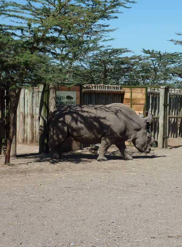 Last White Rhino 2
