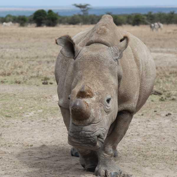 Last White Rhino 3