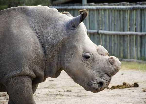 Last White Rhino 5