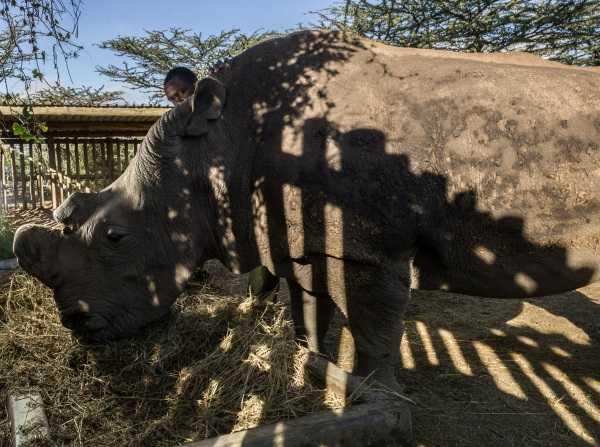 Last White Rhino 6