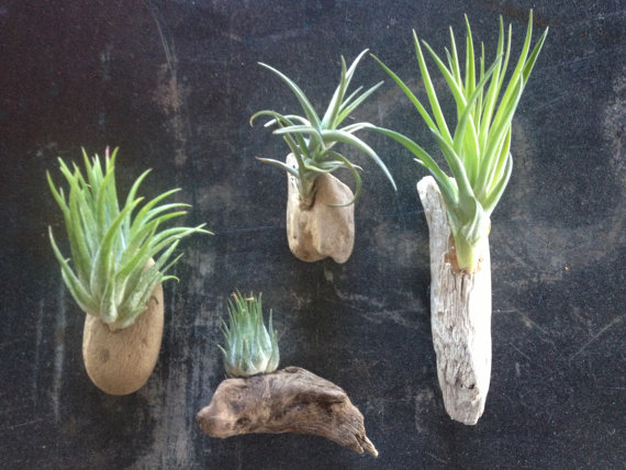 eco etsy driftwood air plant magnets