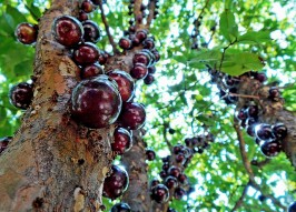 Weirdest Tree Ever? Jabuticaba Grows Fruit Right on its Trunk