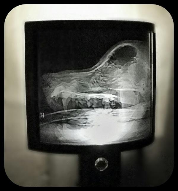 Animal X-Ray Lampshades 2