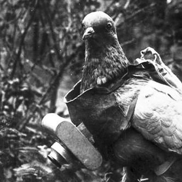 animal weapons war pigeon