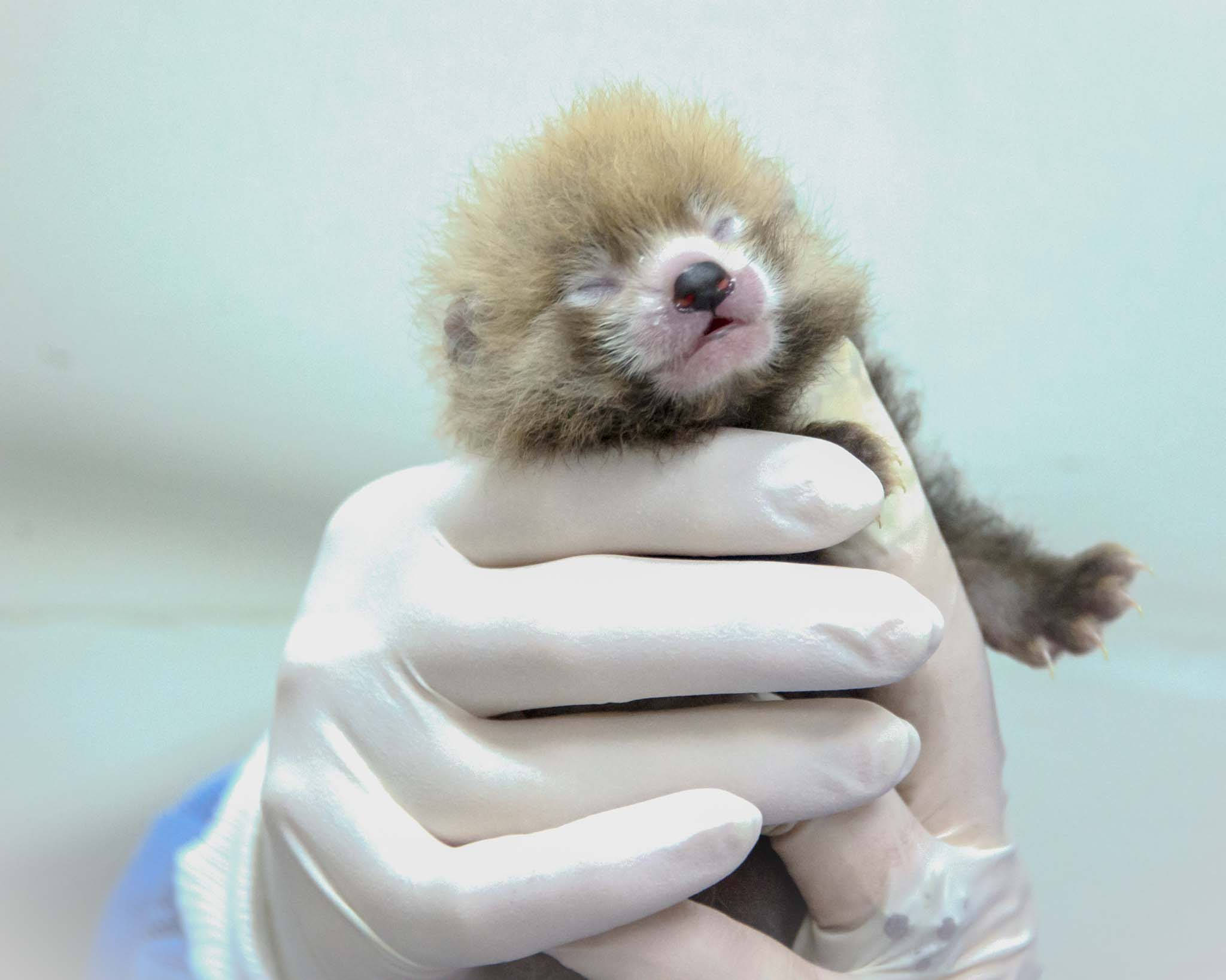 Four litters of red panda cubs born at Scbi