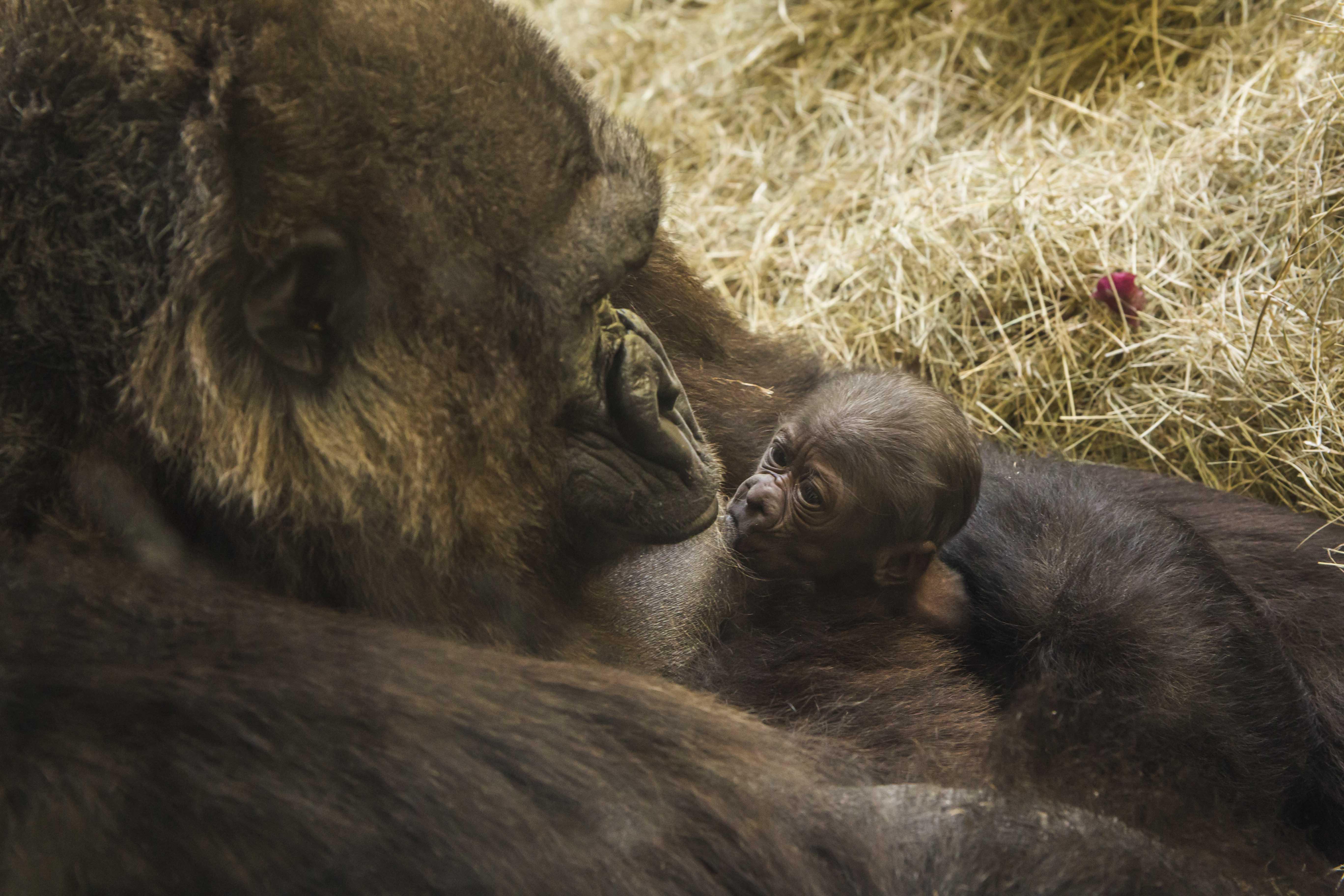 Endangered baby gorilla born at Busch Gardens
