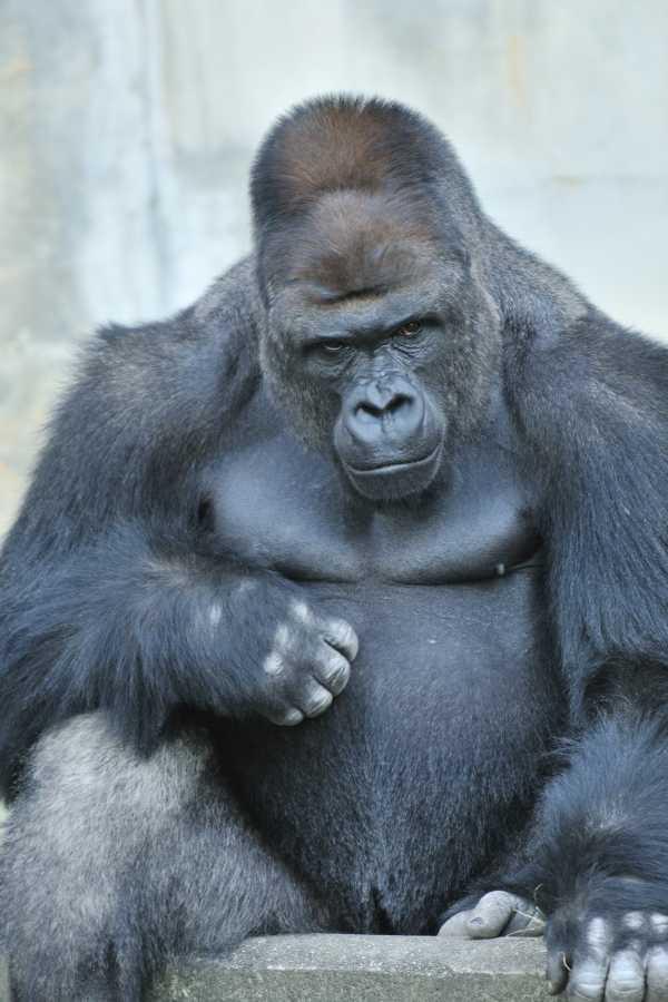 handsome-gorilla-9