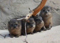 Fab Four Baby Rock Hyraxes Born At Chester Zoo