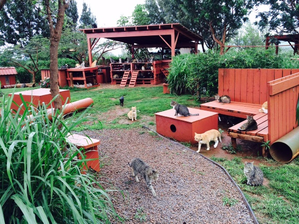 """Hawaiian Lions"" Roam At Lanai Cat Sanctuary"
