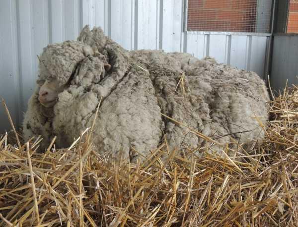 chris-the-sheep-15