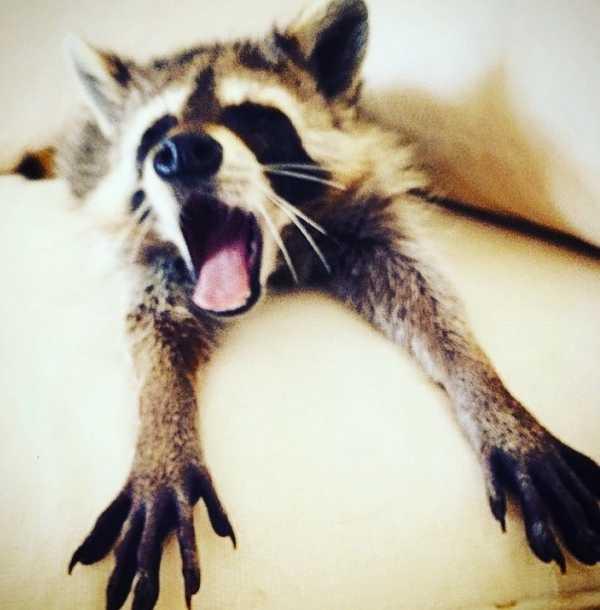 raccoon-8