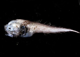 Butt Ugly: Deep-Sea Assfish Is Aptly Named