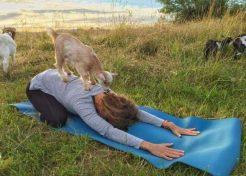 No Kidding: Goat Yoga Is Happening