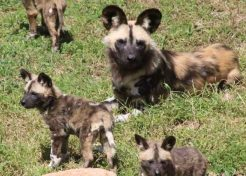 Aussie Zoo Welcomes 11 African Wild Dog Pups