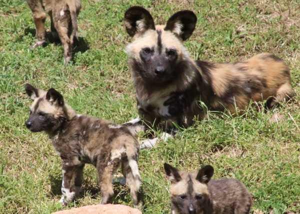 wild-dog-pups-3
