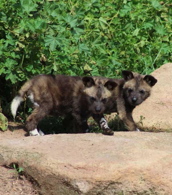 wild-dog-pups-5