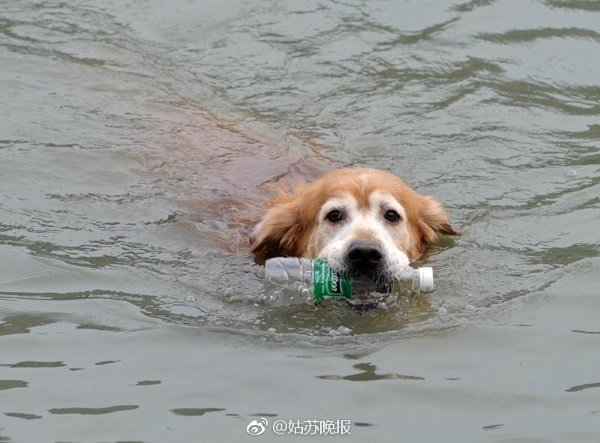 china-golden-retriever-cleans-river-2