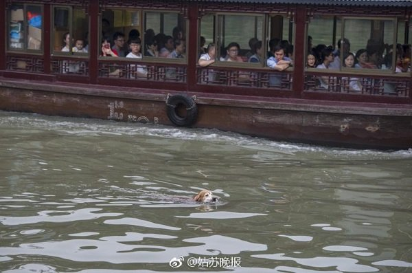 china-golden-retriever-cleans-river-4