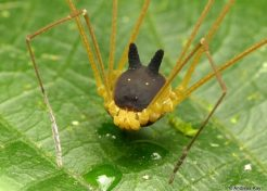 Hedge Dog: Creepy Cute 'Bunny Harvestman' Spider