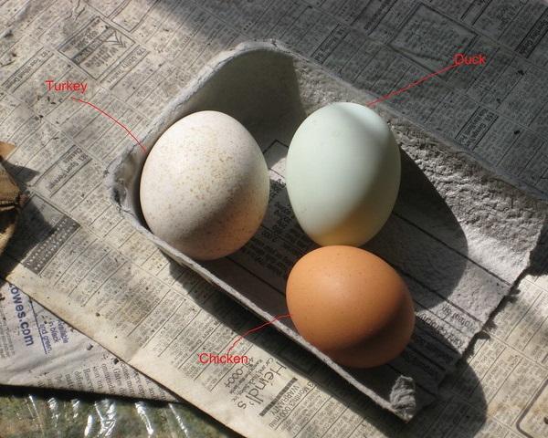 Gobble Wobble: Delicious Turkey Eggs Are No Yolk!