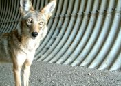 Howl Be Back: The Top 7 Amazing Coyotes